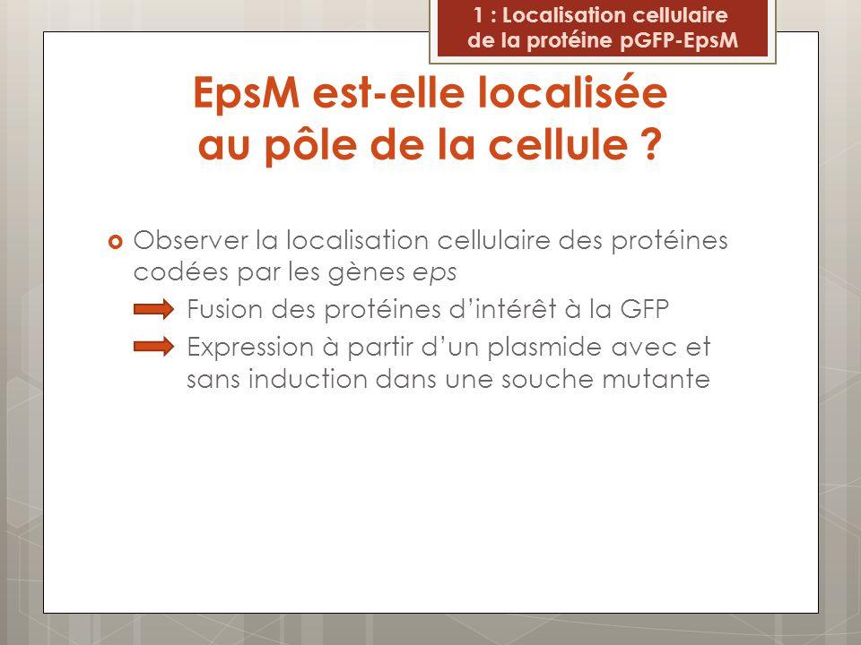 EpsM est-elle localisée au pôle de la cellule