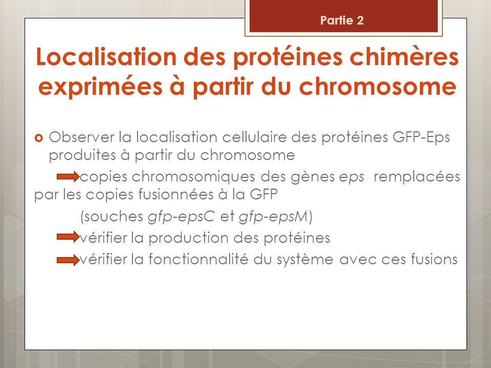Localisation des protéines chimères exprimées à partir du chromosome