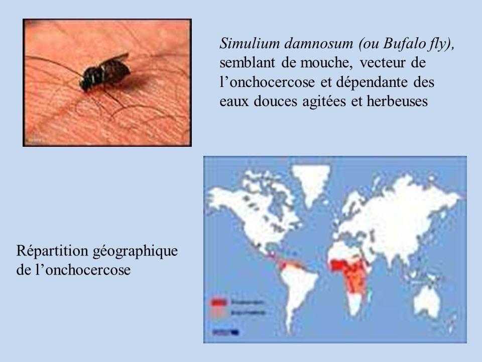 Simulium damnosum (ou Bufalo fly), semblant de mouche, vecteur de