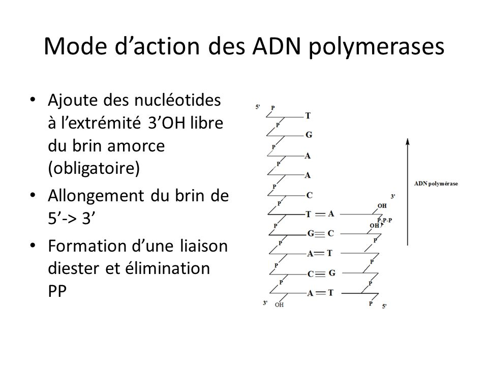 Mode d'action des ADN polymerases