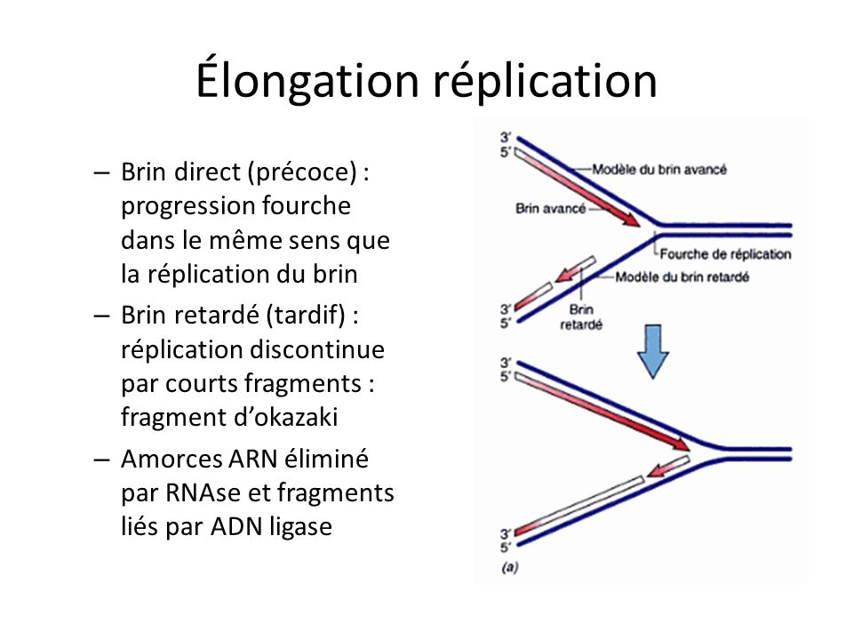 Élongation réplication