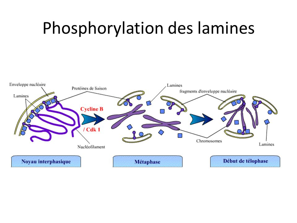 Phosphorylation des lamines
