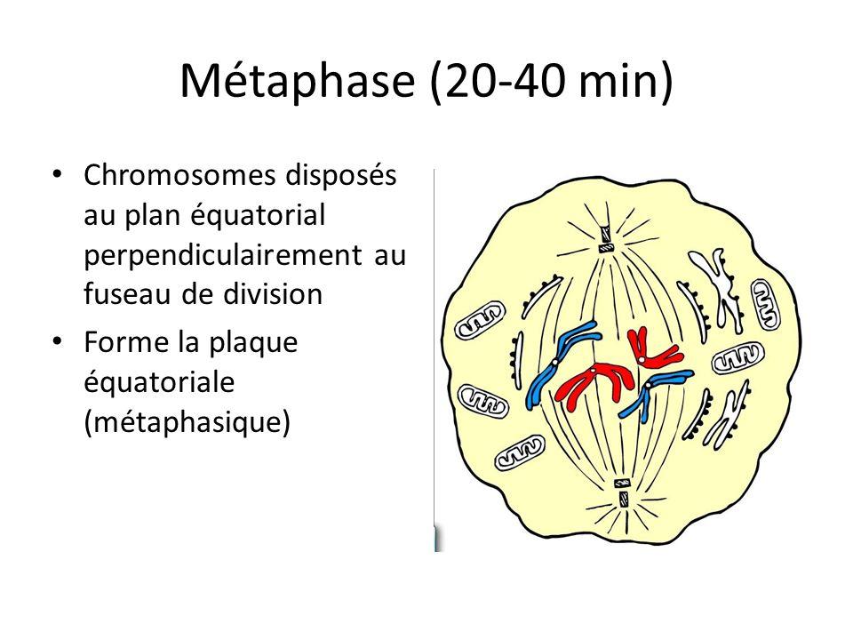 Métaphase (20-40 min) Chromosomes disposés au plan équatorial perpendiculairement au fuseau de division.