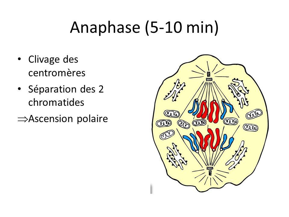 Anaphase (5-10 min) Clivage des centromères