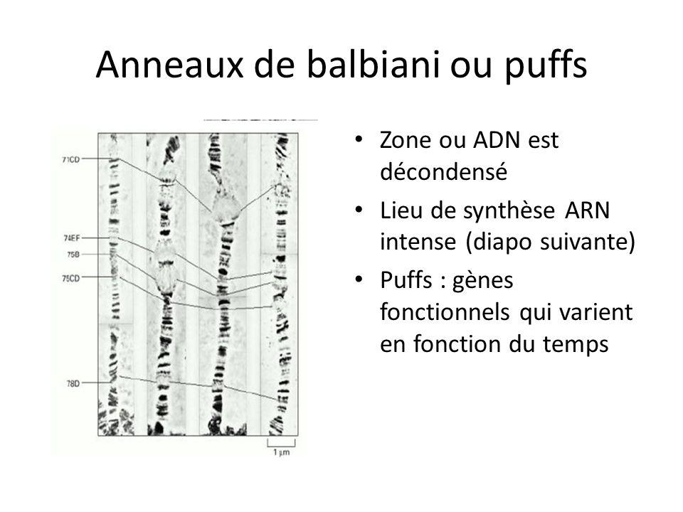 Anneaux de balbiani ou puffs