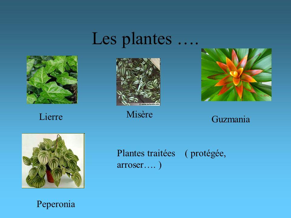 Les plantes …. Misère Lierre Guzmania