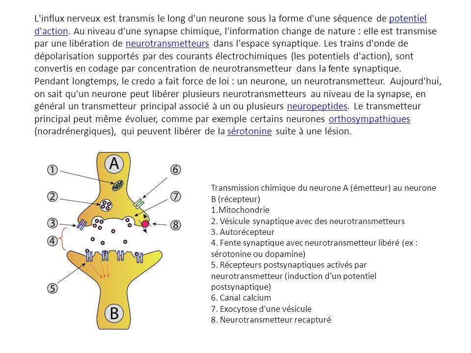 L influx nerveux est transmis le long d un neurone sous la forme d une séquence de potentiel d action. Au niveau d une synapse chimique, l information change de nature : elle est transmise par une libération de neurotransmetteurs dans l espace synaptique. Les trains d onde de dépolarisation supportés par des courants électrochimiques (les potentiels d action), sont convertis en codage par concentration de neurotransmetteur dans la fente synaptique. Pendant longtemps, le credo a fait force de loi : un neurone, un neurotransmetteur. Aujourd hui, on sait qu un neurone peut libérer plusieurs neurotransmetteurs au niveau de la synapse, en général un transmetteur principal associé à un ou plusieurs neuropeptides. Le transmetteur principal peut même évoluer, comme par exemple certains neurones orthosympathiques (noradrénergiques), qui peuvent libérer de la sérotonine suite à une lésion.