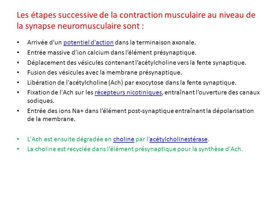 Les étapes successive de la contraction musculaire au niveau de la synapse neuromusculaire sont :