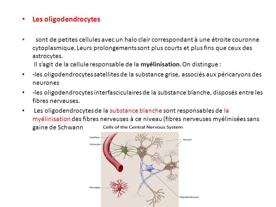 Les oligodendrocytes