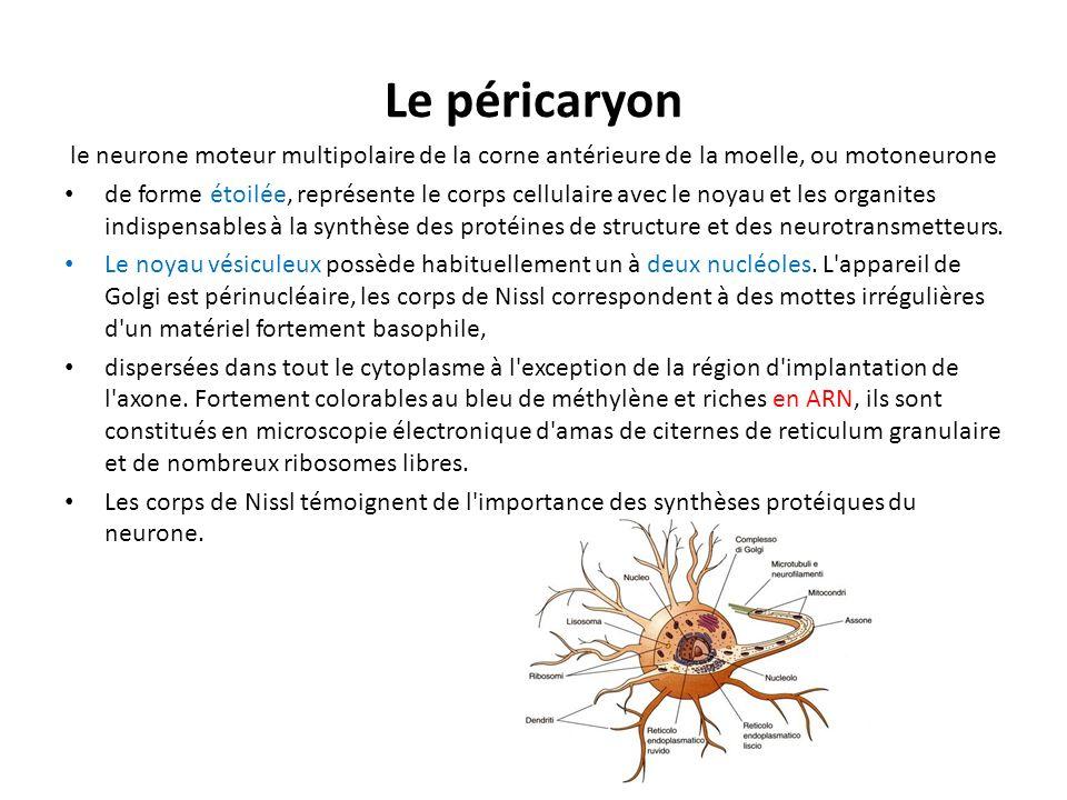 Le péricaryon le neurone moteur multipolaire de la corne antérieure de la moelle, ou motoneurone.