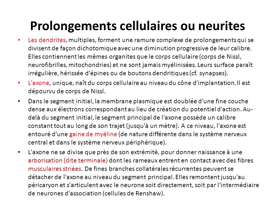 Prolongements cellulaires ou neurites