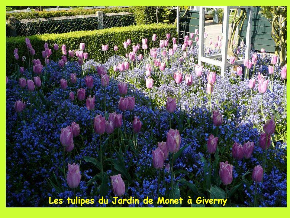 Les tulipes du Jardin de Monet à Giverny