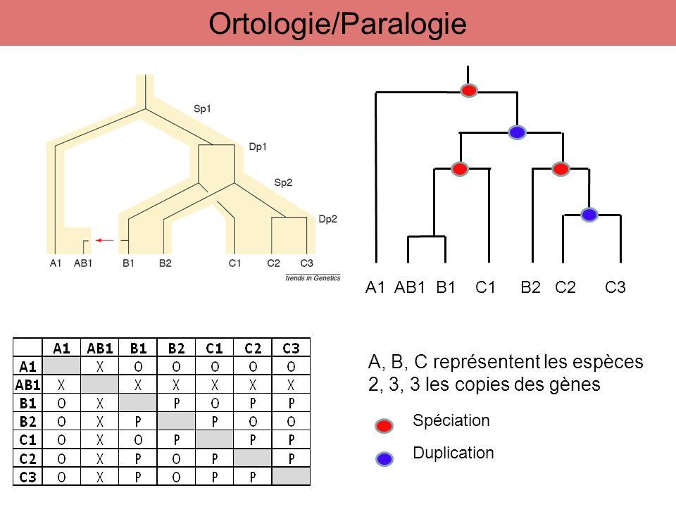 Ortologie/Paralogie A, B, C représentent les espèces