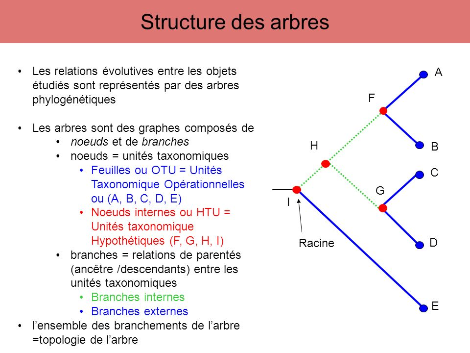 Structure des arbres Les relations évolutives entre les objets étudiés sont représentés par des arbres phylogénétiques.