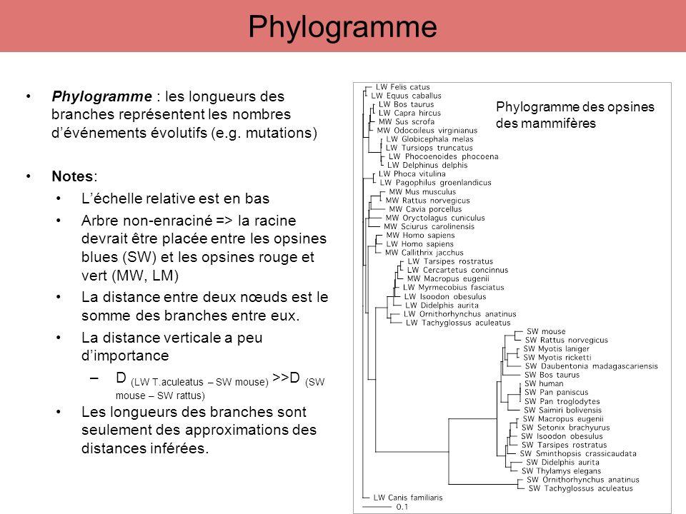 Phylogramme Phylogramme : les longueurs des branches représentent les nombres d'événements évolutifs (e.g. mutations)