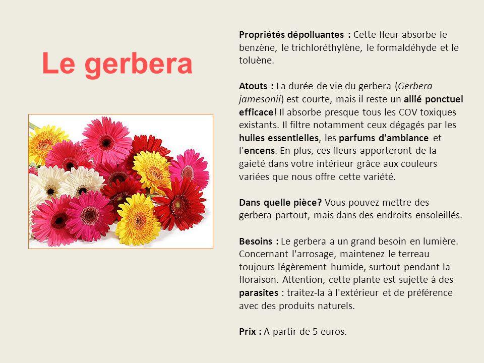 Propriétés dépolluantes : Cette fleur absorbe le benzène, le trichloréthylène, le formaldéhyde et le toluène. Atouts : La durée de vie du gerbera (Gerbera jamesonii) est courte, mais il reste un allié ponctuel efficace! Il absorbe presque tous les COV toxiques existants. Il filtre notamment ceux dégagés par les huiles essentielles, les parfums d ambiance et l encens. En plus, ces fleurs apporteront de la gaieté dans votre intérieur grâce aux couleurs variées que nous offre cette variété. Dans quelle pièce Vous pouvez mettre des gerbera partout, mais dans des endroits ensoleillés. Besoins : Le gerbera a un grand besoin en lumière. Concernant l arrosage, maintenez le terreau toujours légèrement humide, surtout pendant la floraison. Attention, cette plante est sujette à des parasites : traitez-la à l extérieur et de préférence avec des produits naturels. Prix : A partir de 5 euros.