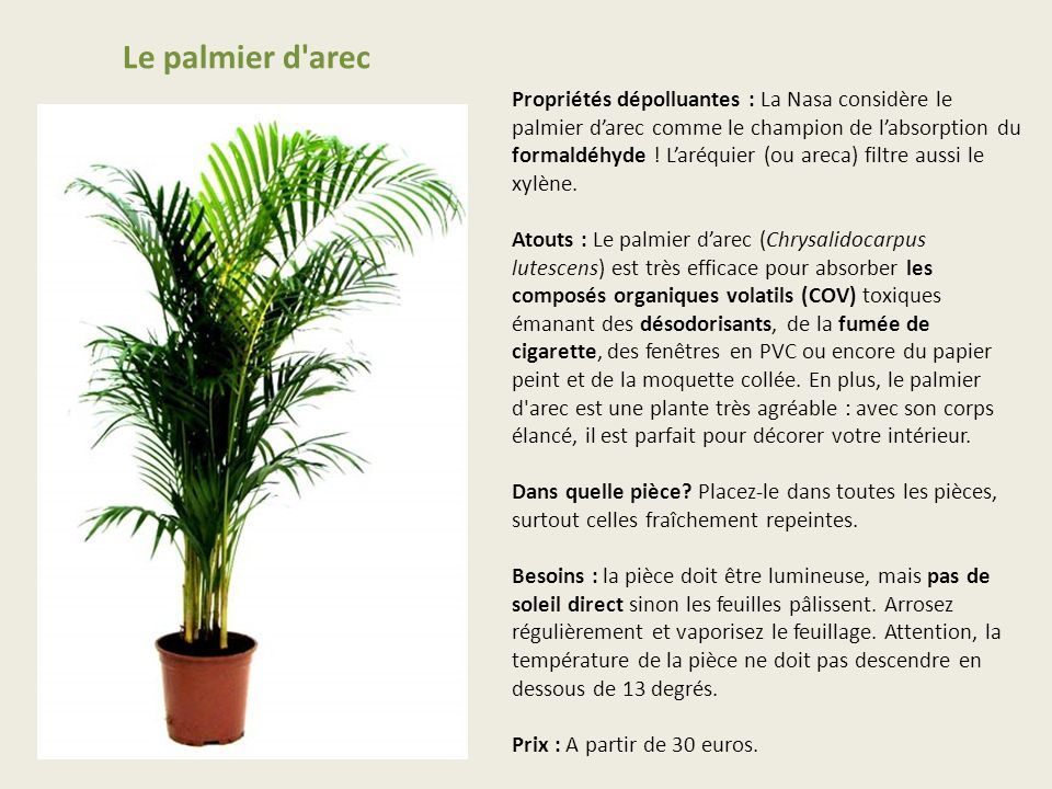 Le palmier d arec