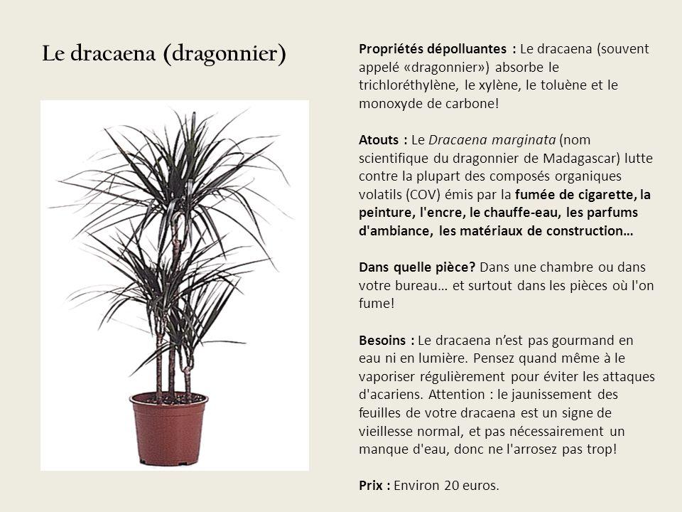 Le dracaena (dragonnier)