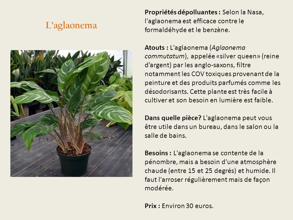 Propriétés dépolluantes : Selon la Nasa, l aglaonema est efficace contre le formaldéhyde et le benzène. Atouts : L aglaonema (Aglaonema commutatum), appelée «silver queen» (reine d'argent) par les anglo-saxons, filtre notamment les COV toxiques provenant de la peinture et des produits parfumés comme les désodorisants. Cette plante est très facile à cultiver et son besoin en lumière est faible. Dans quelle pièce L aglaonema peut vous être utile dans un bureau, dans le salon ou la salle de bains. Besoins : L aglaonema se contente de la pénombre, mais a besoin d une atmosphère chaude (entre 15 et 25 degrés) et humide. Il faut l arroser régulièrement mais de façon modérée. Prix : Environ 30 euros.