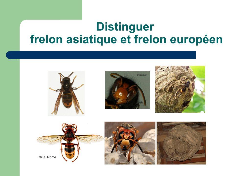 Distinguer frelon asiatique et frelon européen
