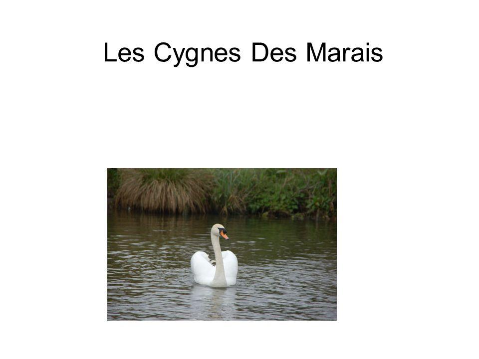 Les Cygnes Des Marais