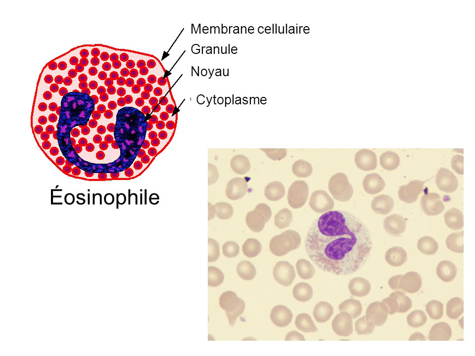 Éosinophile Cytoplasme Noyau Membrane cellulaire Granule