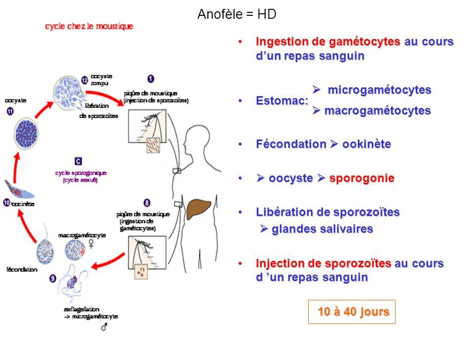 Anofèle = HD Ingestion de gamétocytes au cours d'un repas sanguin