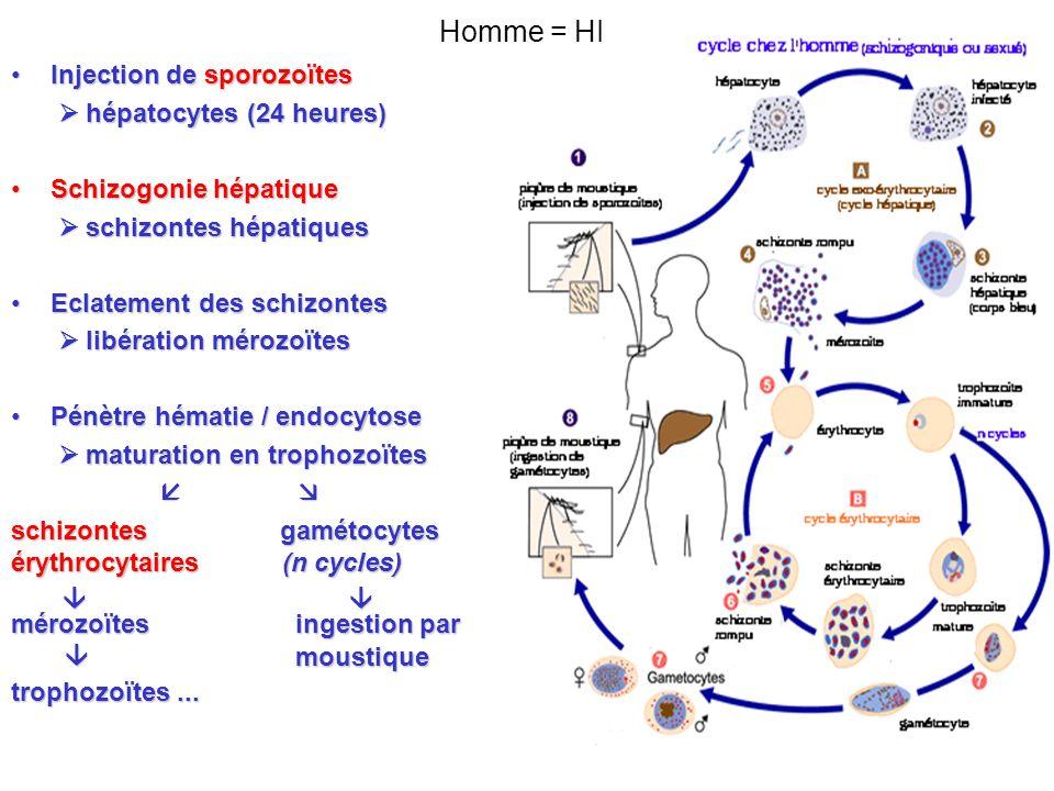 Homme = HI Injection de sporozoïtes  hépatocytes (24 heures)