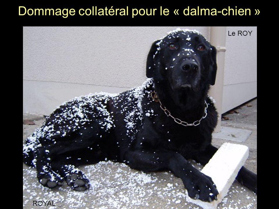 Dommage collatéral pour le « dalma-chien »