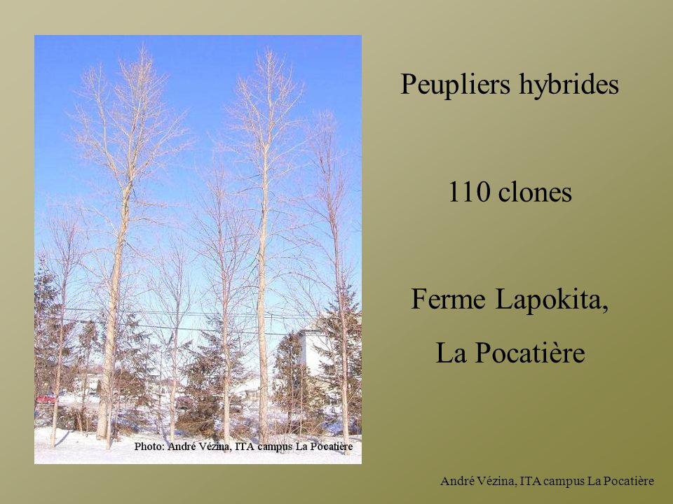 Peupliers hybrides 110 clones Ferme Lapokita, La Pocatière