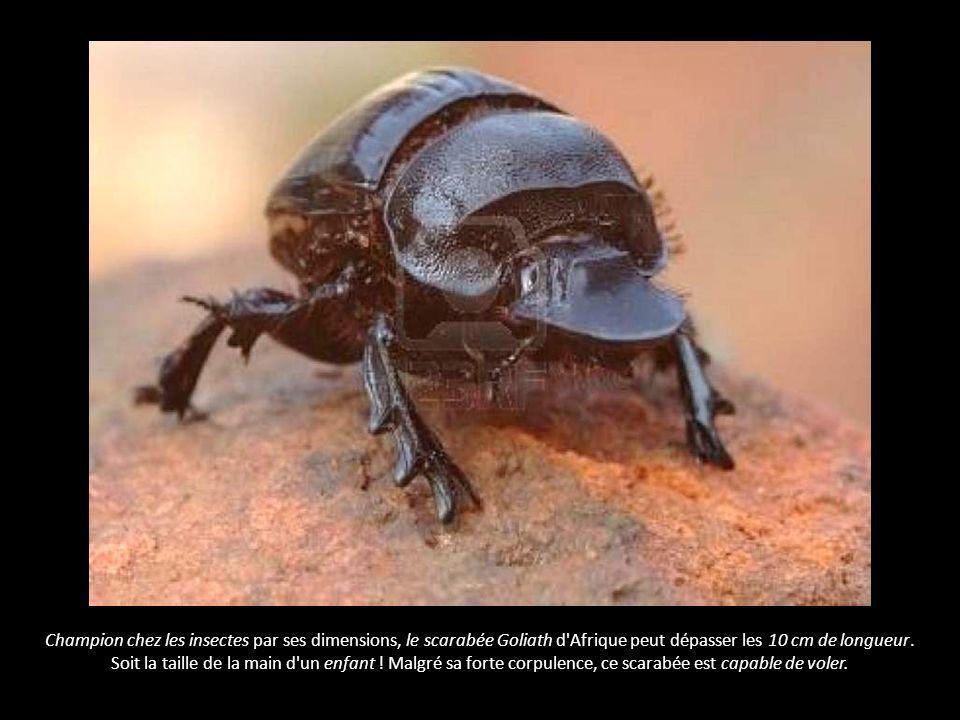 Le plus gros insecte - le scarabée Goliath