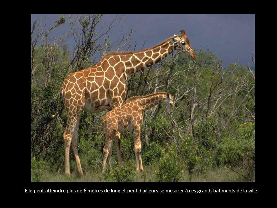 La girafe est le plus grand animal du monde.