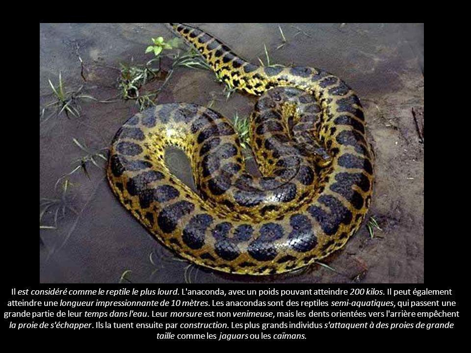 Le reptile le plus lourd - L anaconda