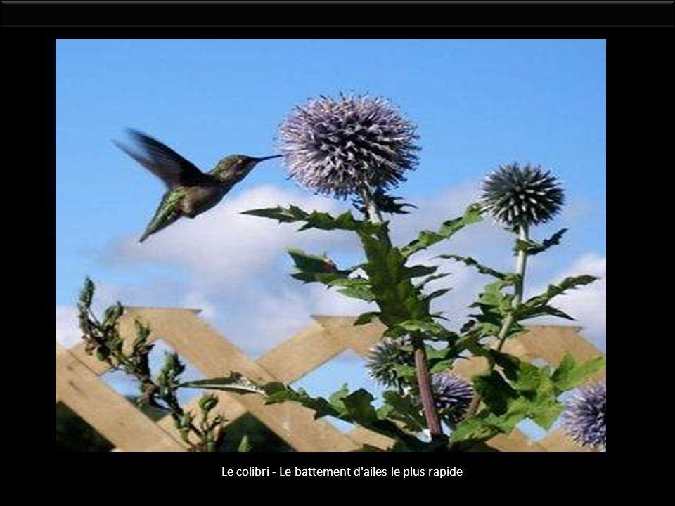 Le colibri - Le battement d ailes le plus rapide