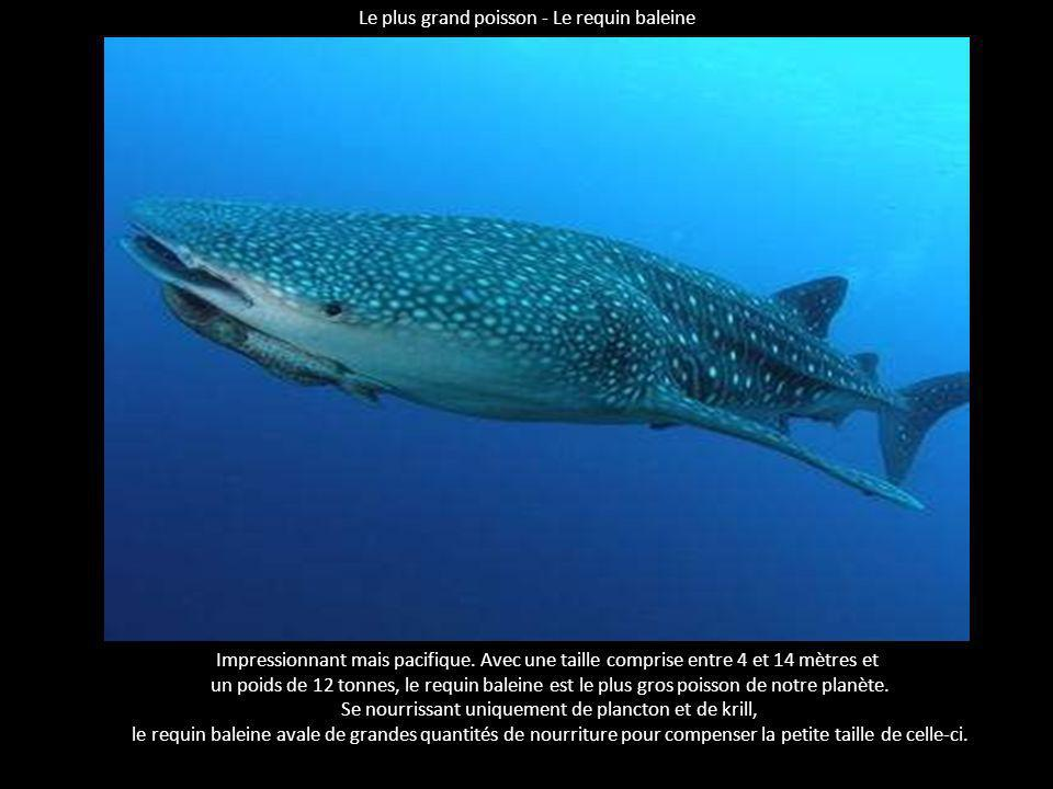 Le plus grand poisson - Le requin baleine