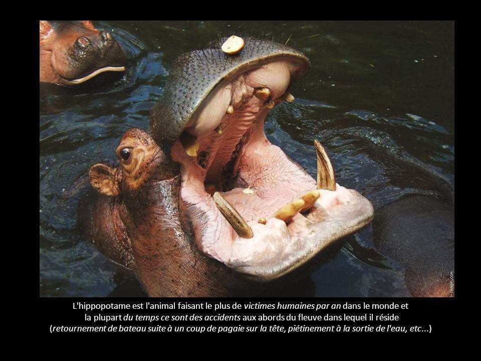 L hippopotame - l animal le plus dangereux pour l homme