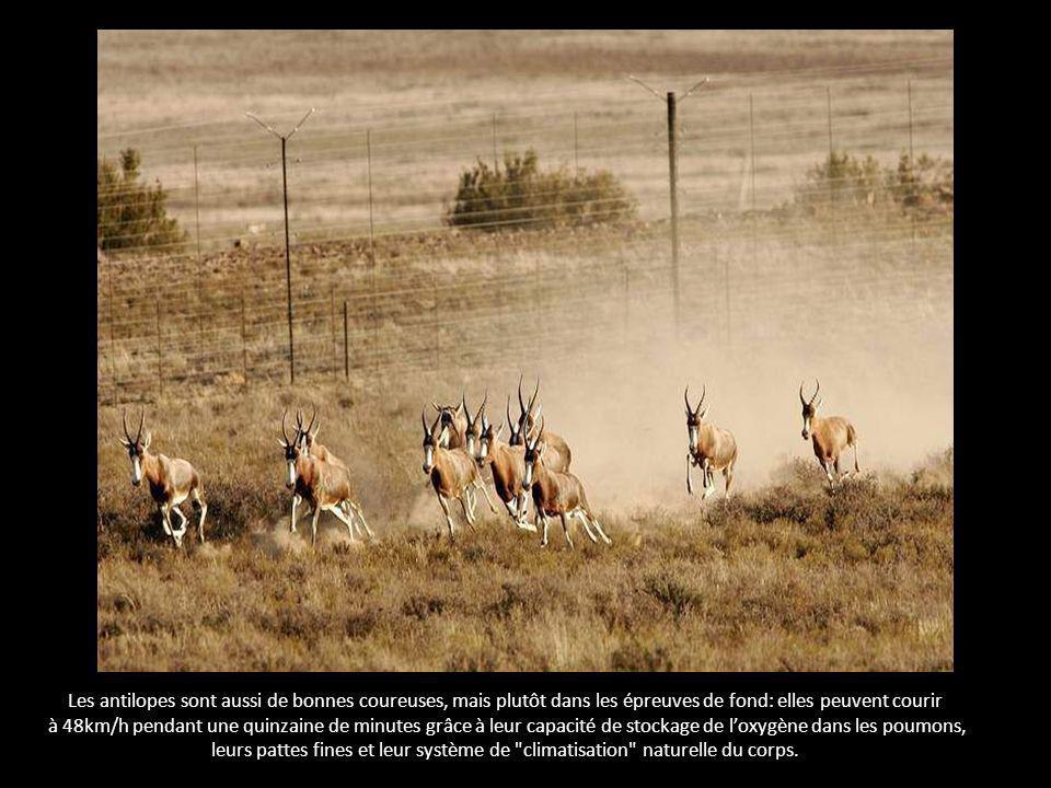 Les antilopes sont aussi de bonnes coureuses, mais plutôt dans les épreuves de fond: elles peuvent courir