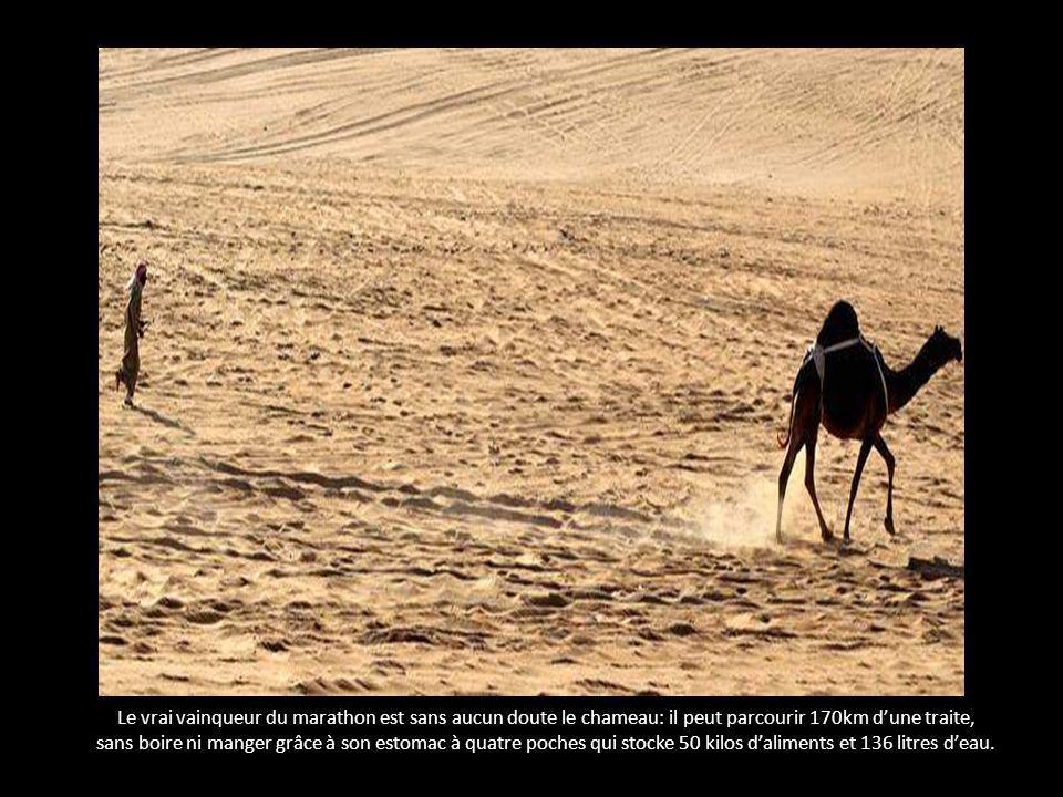Le vrai vainqueur du marathon est sans aucun doute le chameau: il peut parcourir 170km d'une traite,