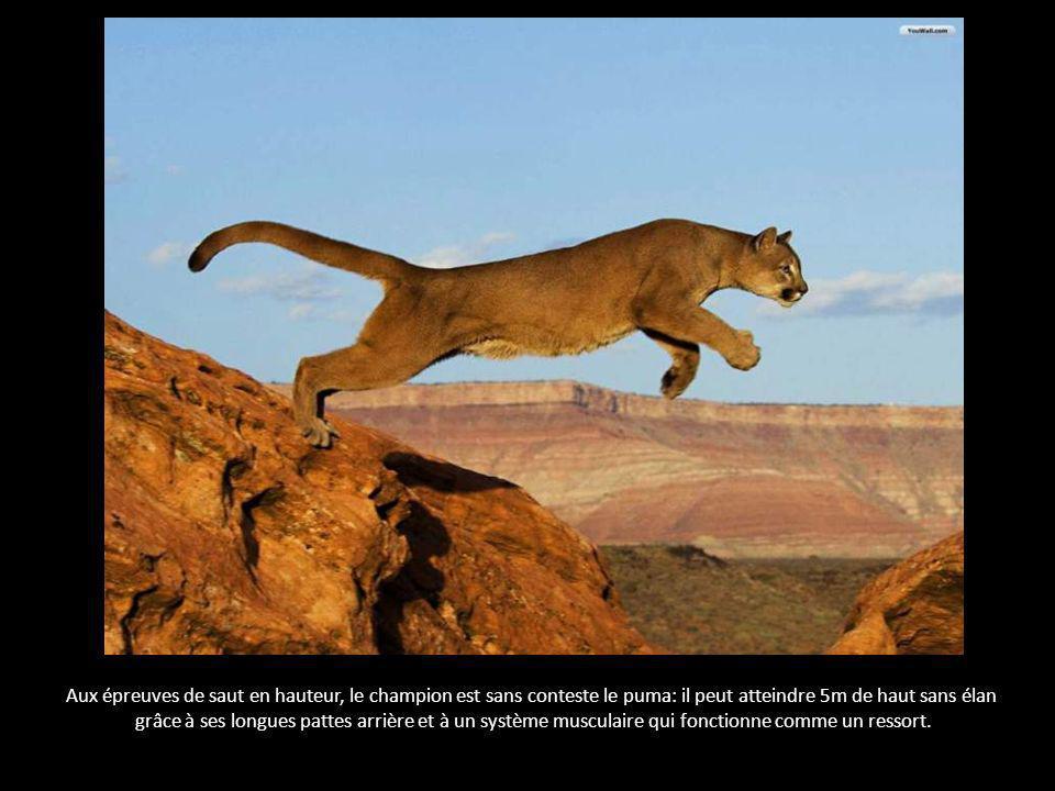Aux épreuves de saut en hauteur, le champion est sans conteste le puma: il peut atteindre 5m de haut sans élan