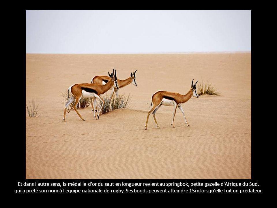 Et dans l autre sens, la médaille d or du saut en longueur revient au springbok, petite gazelle d Afrique du Sud,