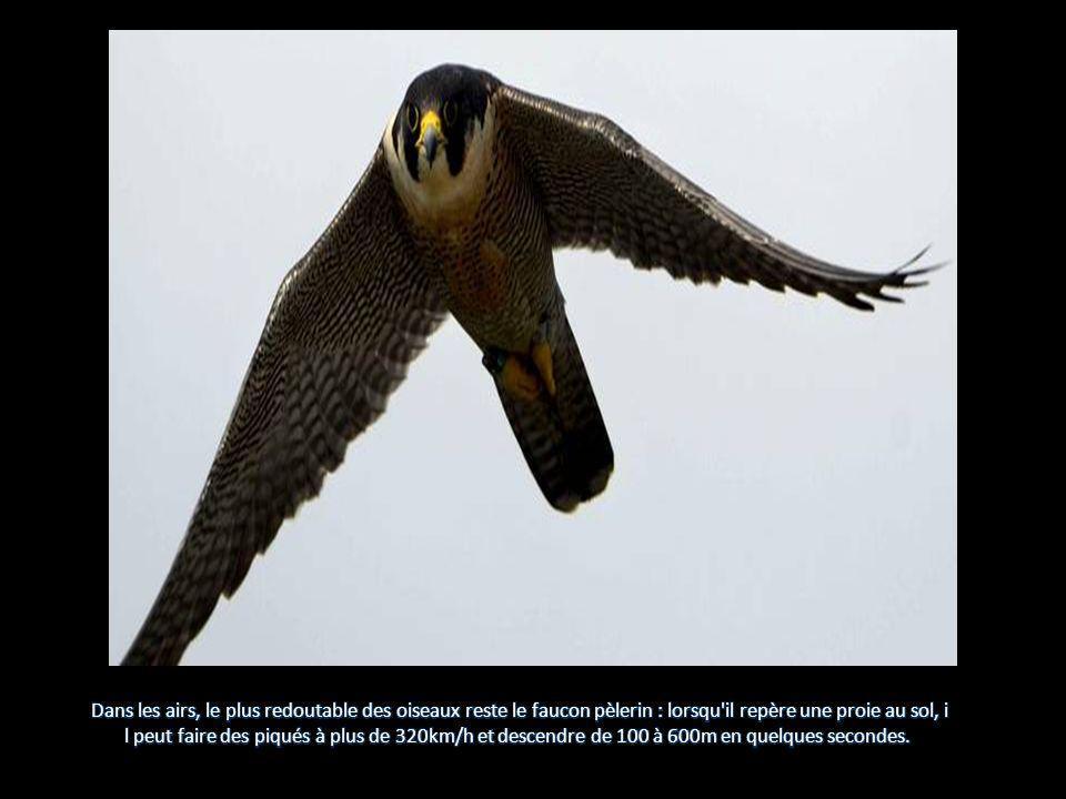 Dans les airs, le plus redoutable des oiseaux reste le faucon pèlerin : lorsqu il repère une proie au sol, i
