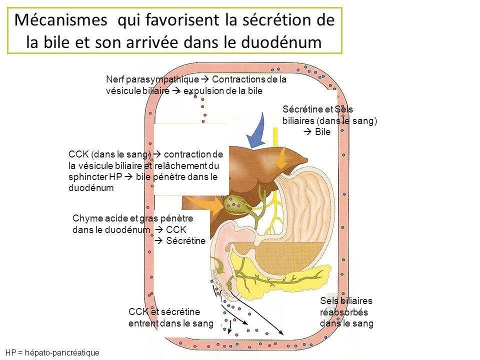 Mécanismes qui favorisent la sécrétion de la bile et son arrivée dans le duodénum