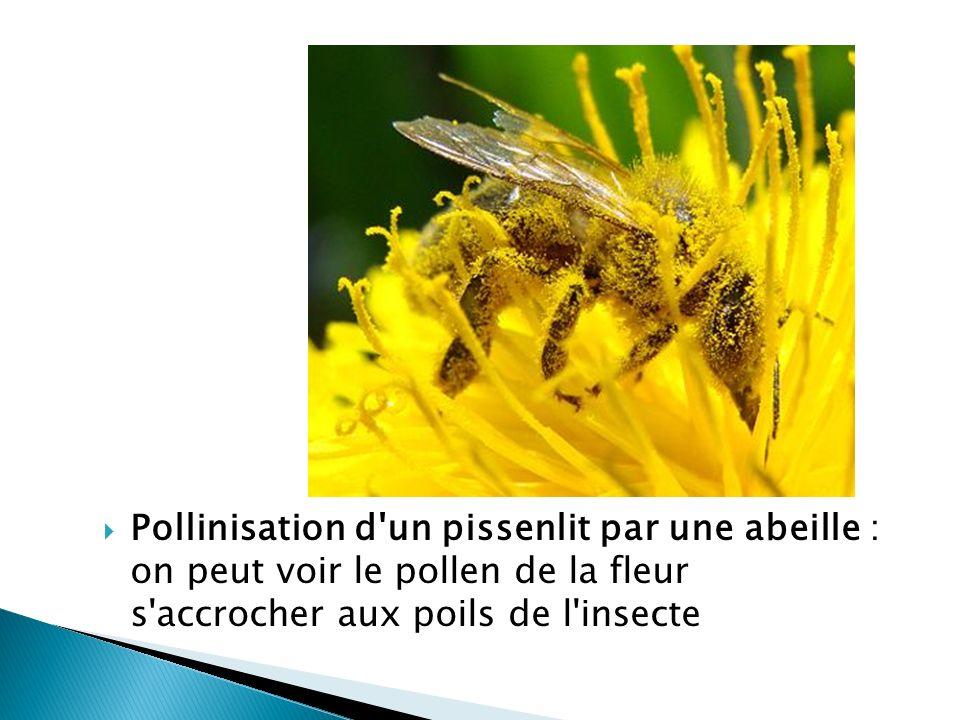 Pollinisation d un pissenlit par une abeille : on peut voir le pollen de la fleur s accrocher aux poils de l insecte