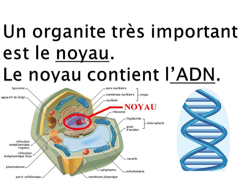 Un organite très important est le noyau. Le noyau contient l'ADN.