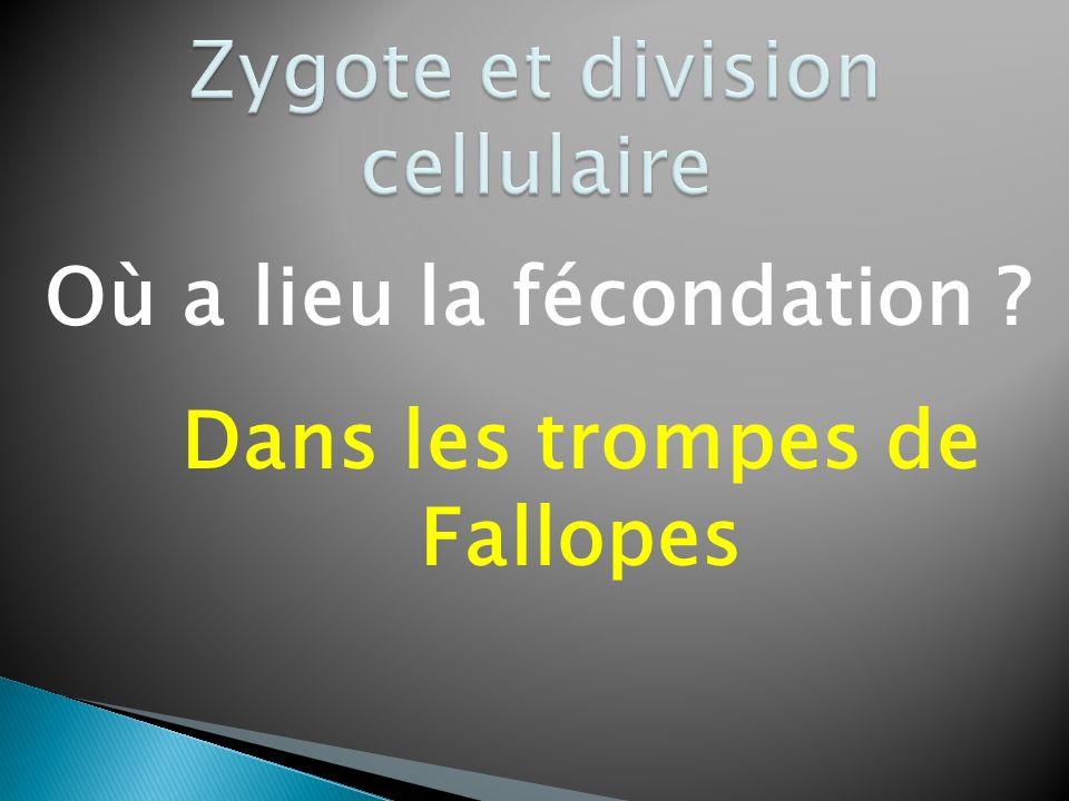 Zygote et division cellulaire
