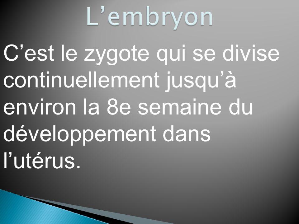 L'embryon C'est le zygote qui se divise continuellement jusqu'à environ la 8e semaine du développement dans l'utérus.