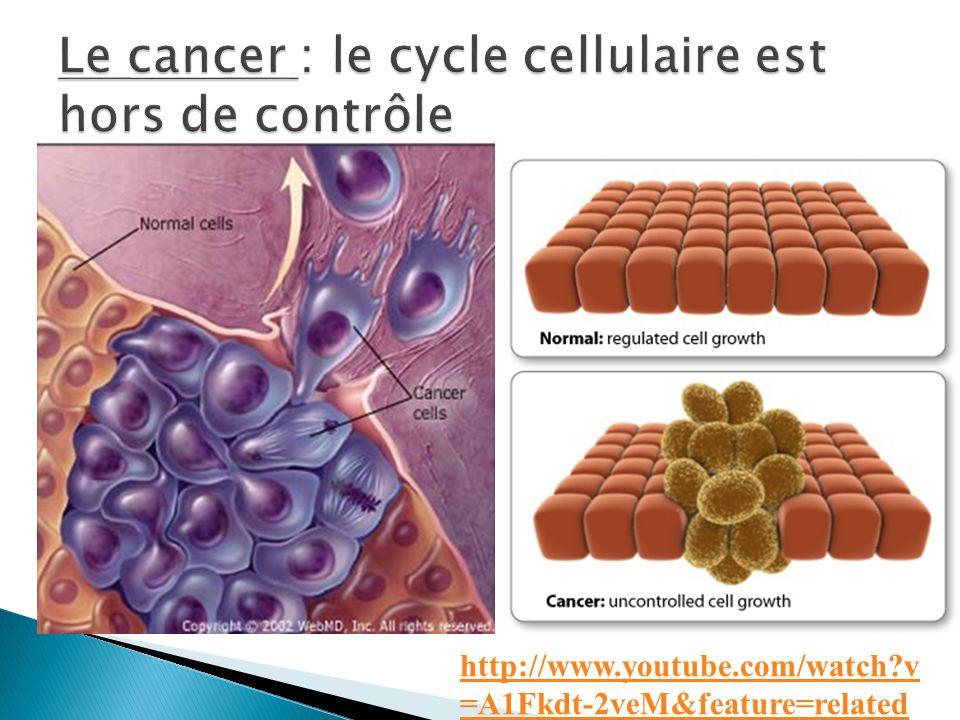 Le cancer : le cycle cellulaire est hors de contrôle
