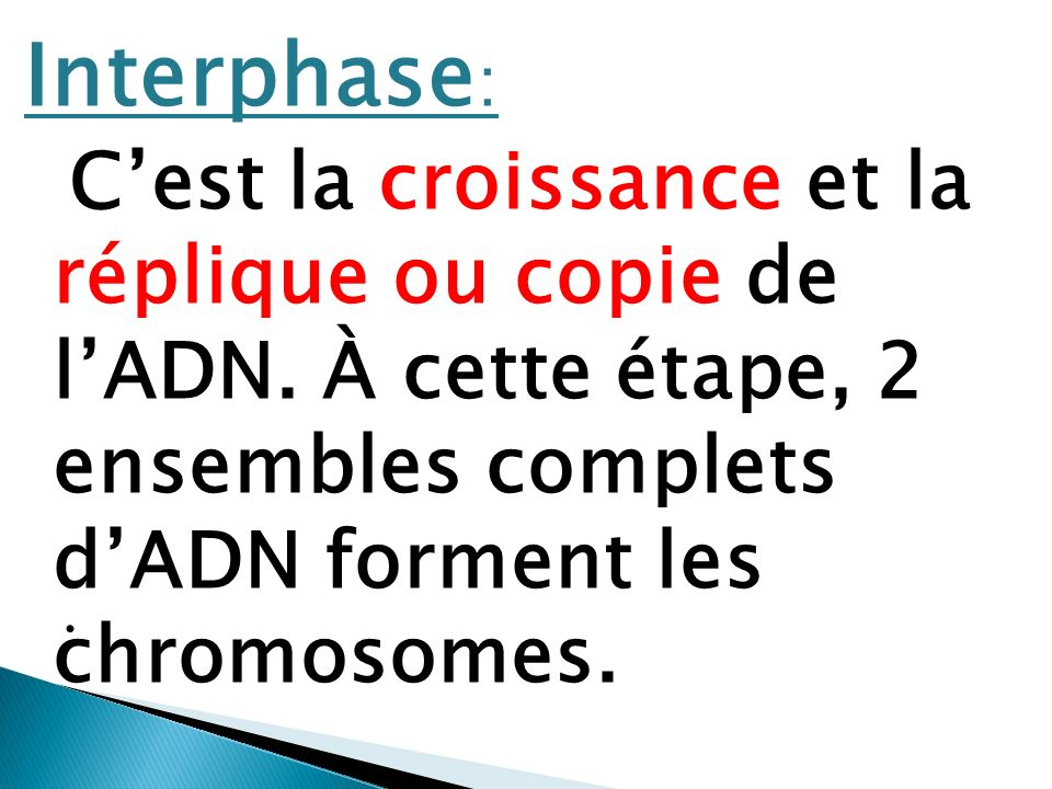 Interphase: C'est la croissance et la réplique ou copie de l'ADN. À cette étape, 2 ensembles complets d'ADN forment les chromosomes.