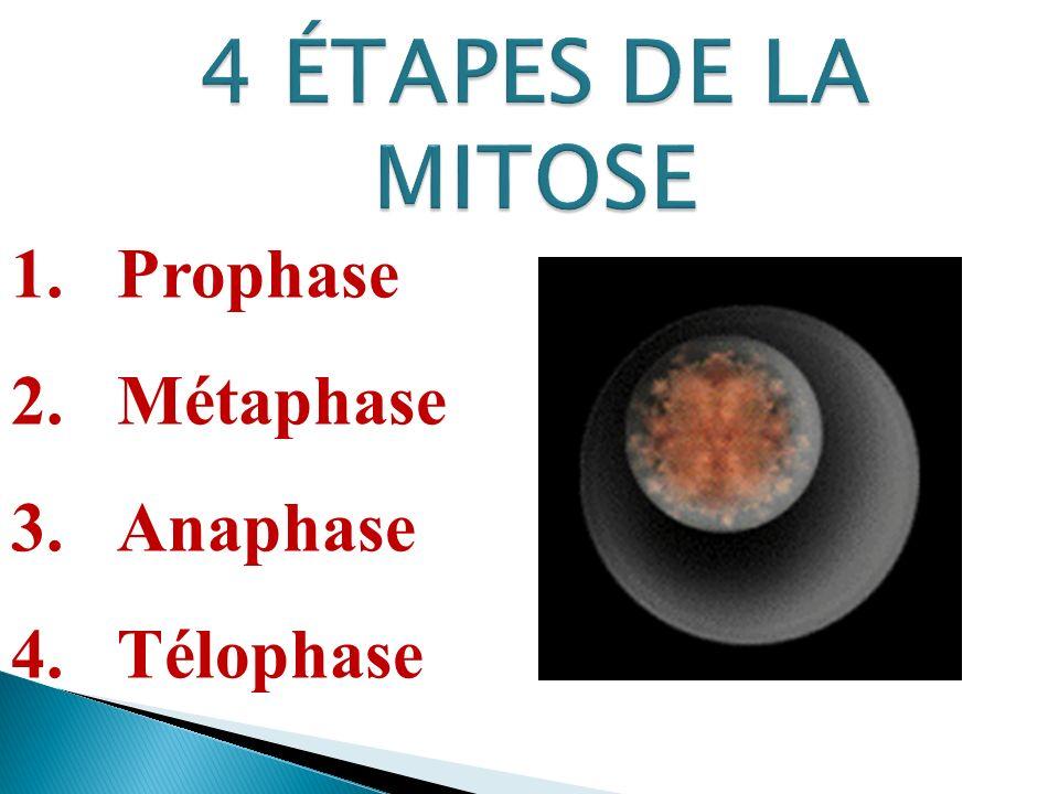 4 ÉTAPES DE LA MITOSE Prophase Métaphase Anaphase Télophase