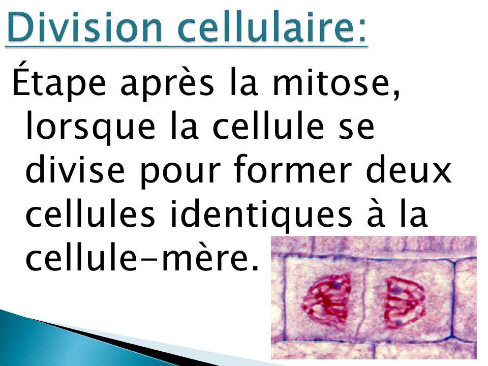 Division cellulaire: Étape après la mitose, lorsque la cellule se divise pour former deux cellules identiques à la cellule-mère.